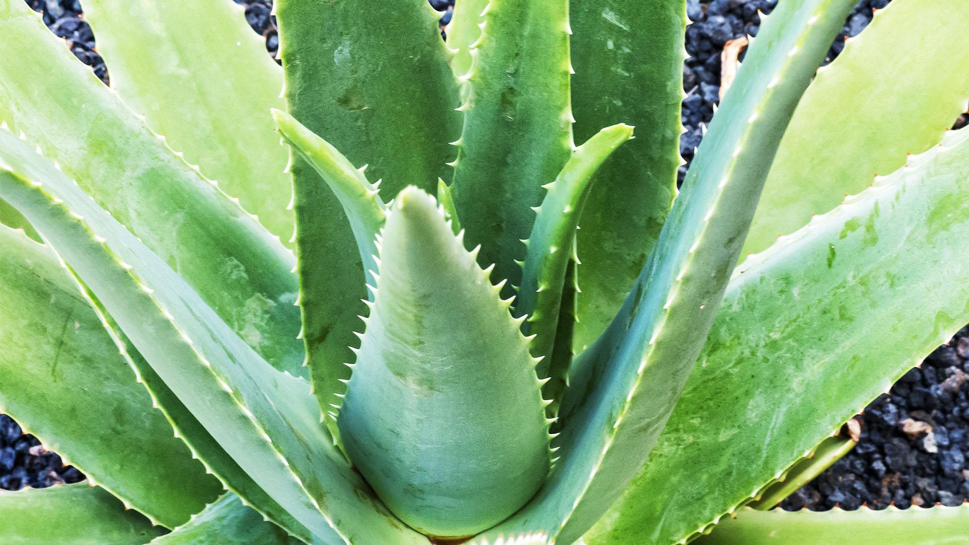 Die Aloe vera auf Fuerteventura.