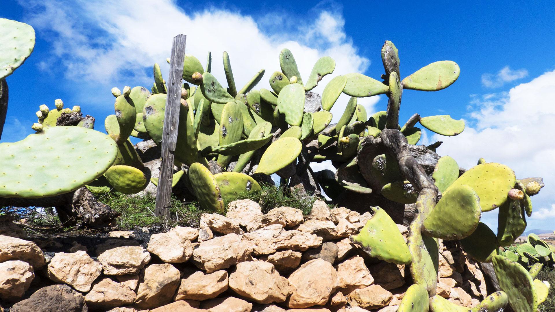 Die Opuntie auf Fuerteventura.