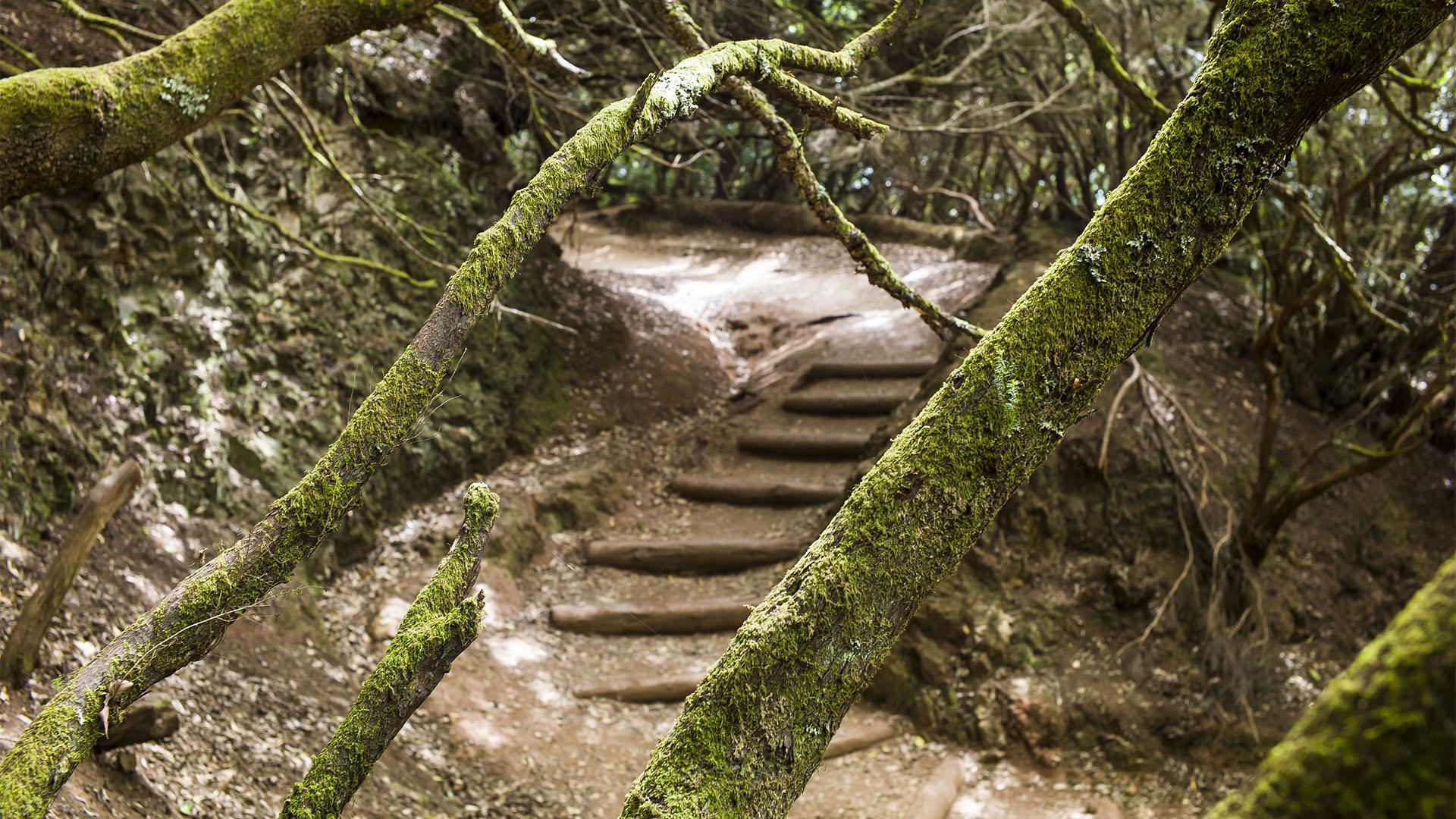 Anaga Gebirge Teneriffa –der Mercedes Wald.