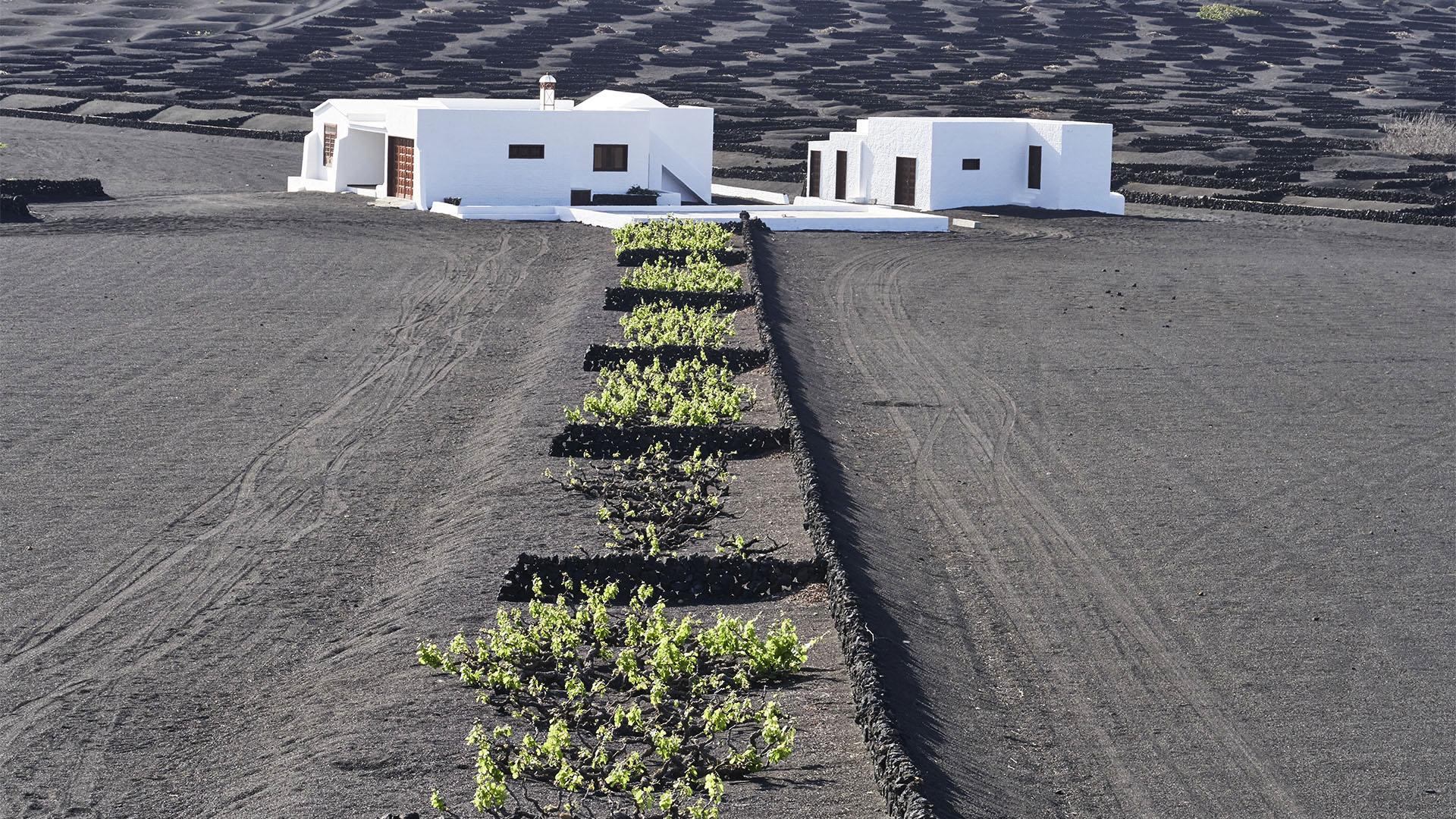 """Weinbau auf Lanzarote –der Wein der """"Feuerberge"""" auf Lavaasche."""