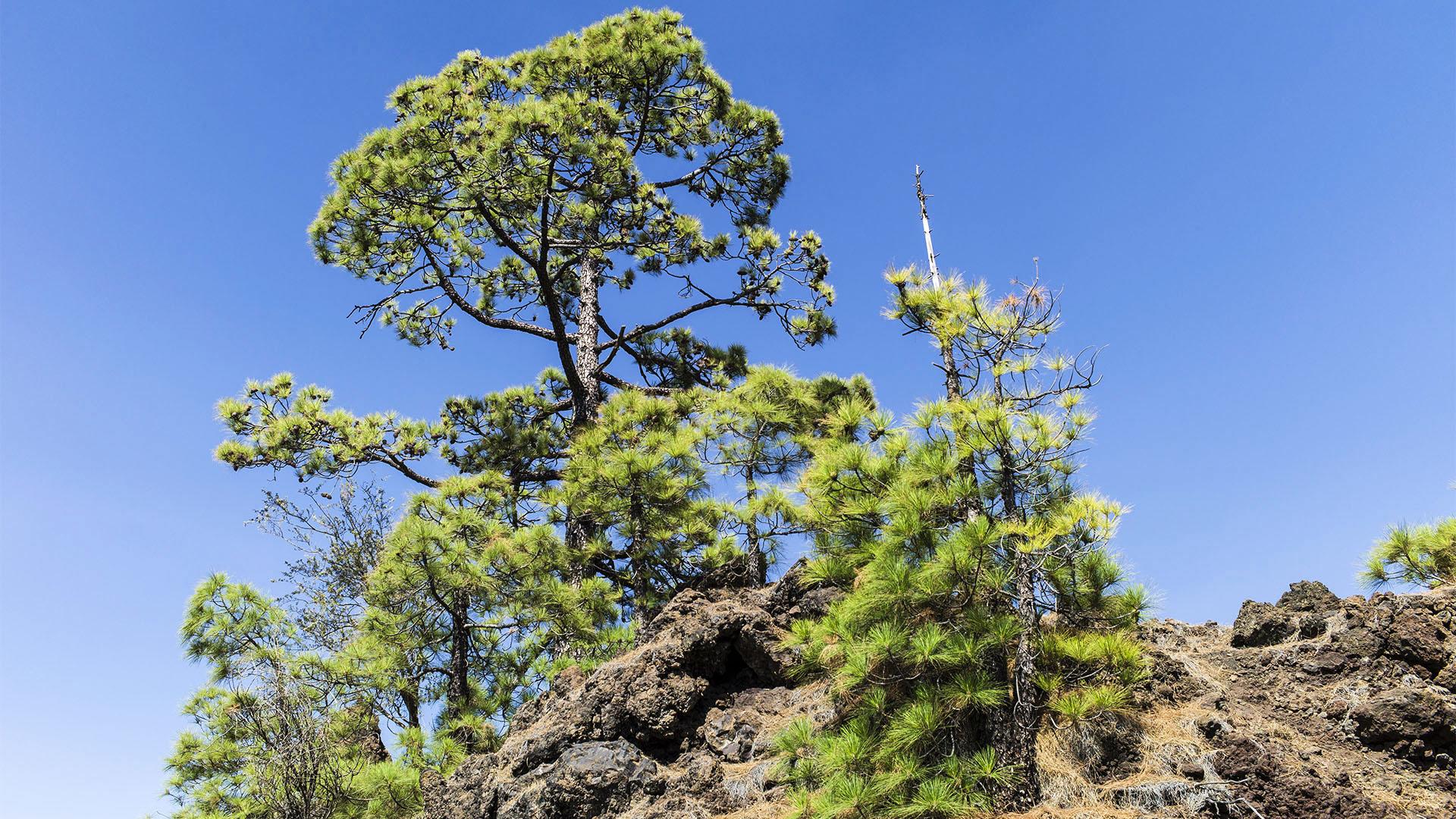 """Der Kiefernwald """"El Pinar"""" von La Gomera."""