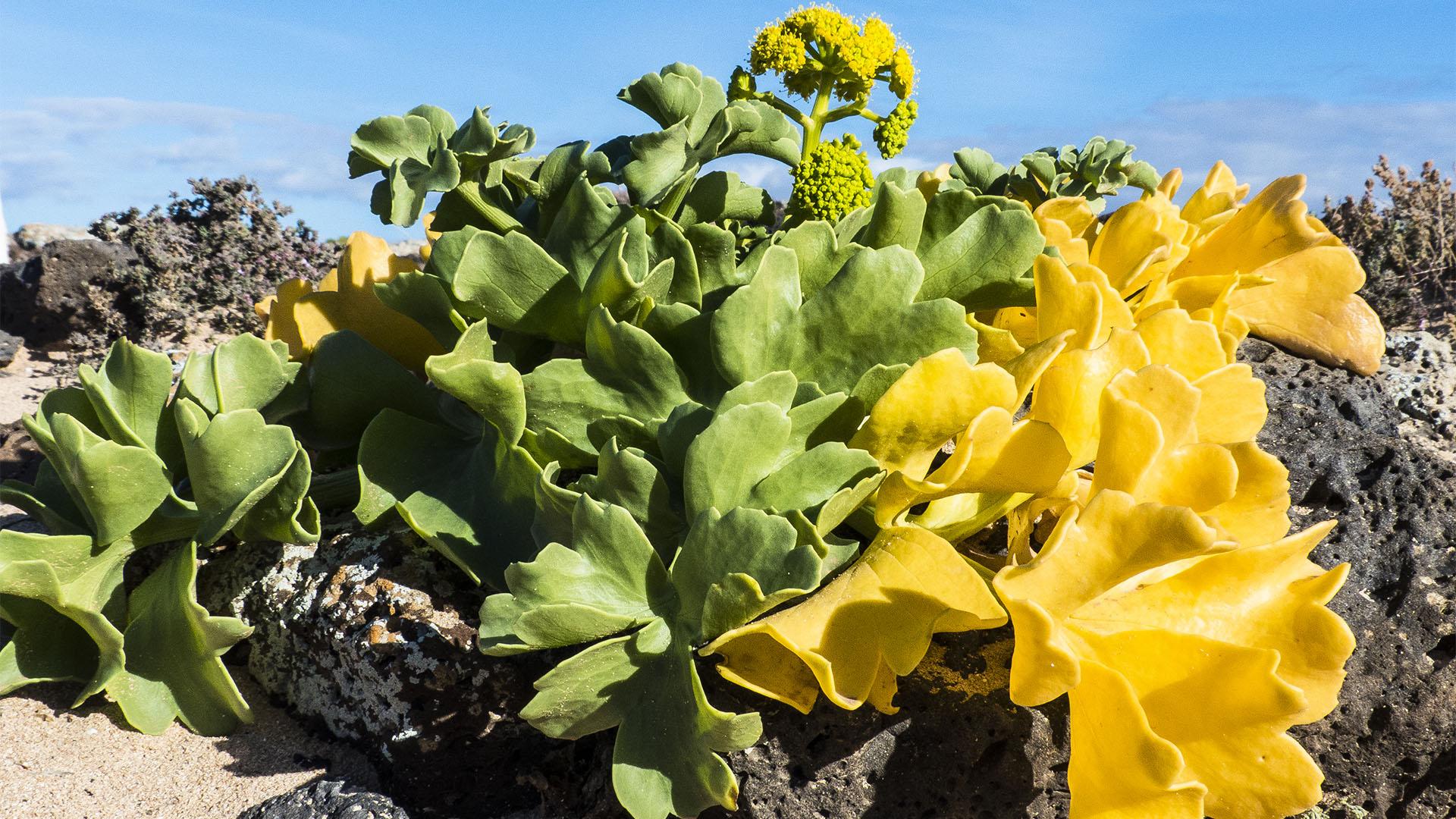 Frühling auf Fuerteventura –die Insel erblüht.